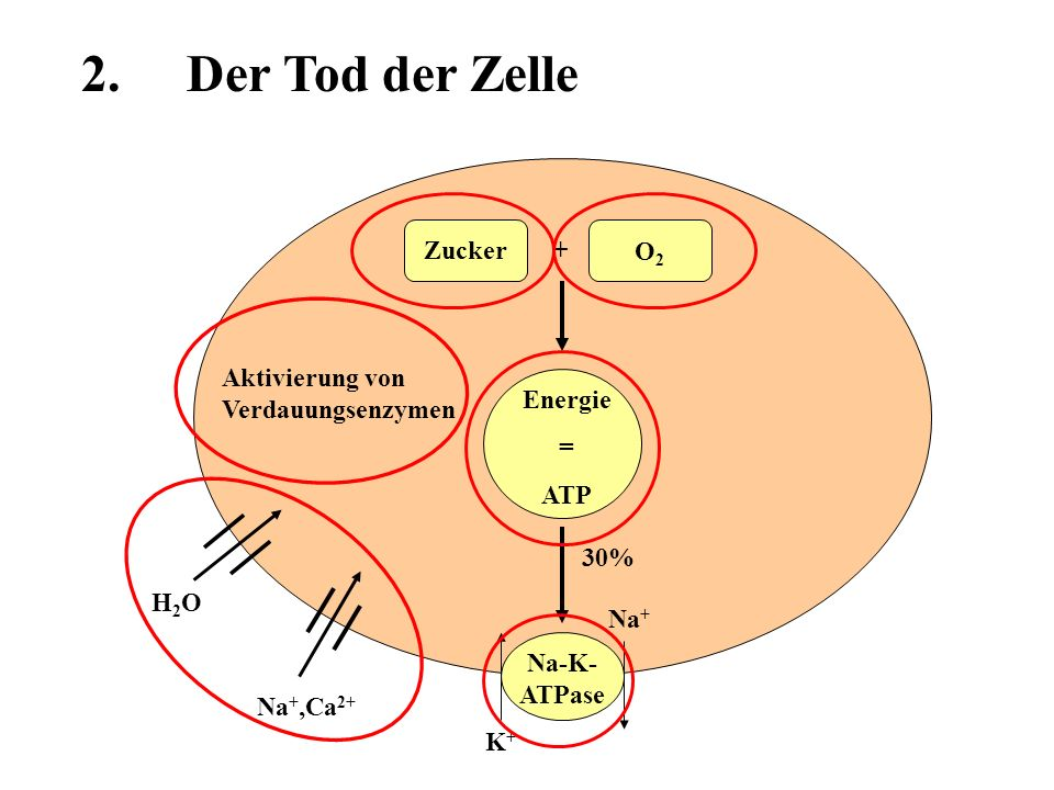 2. Der Tod der Zelle Zucker + O2 Aktivierung von Verdauungsenzymen