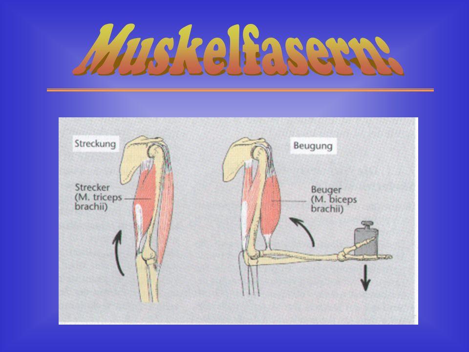 Muskelfasern: