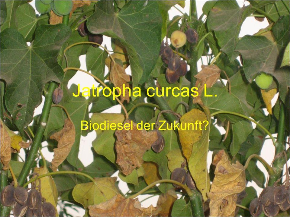 Jatropha curcas L. Biodiesel der Zukunft