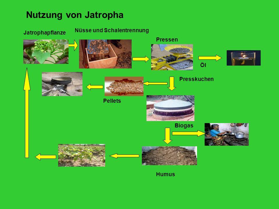 Nutzung von Jatropha Nüsse und Schalentrennung Jatrophapflanze Pressen