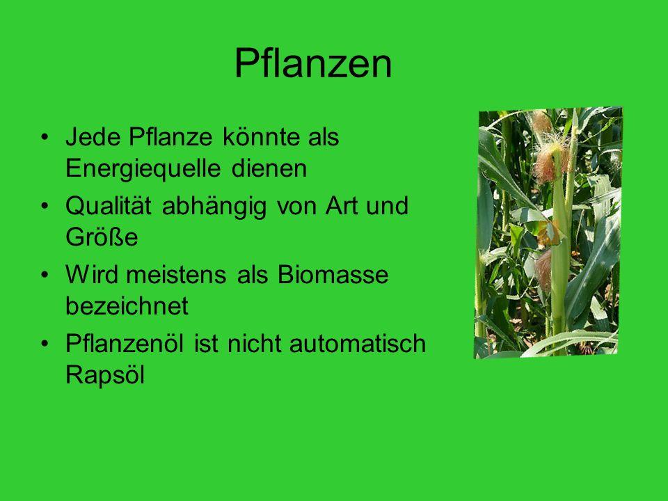 Pflanzen Jede Pflanze könnte als Energiequelle dienen