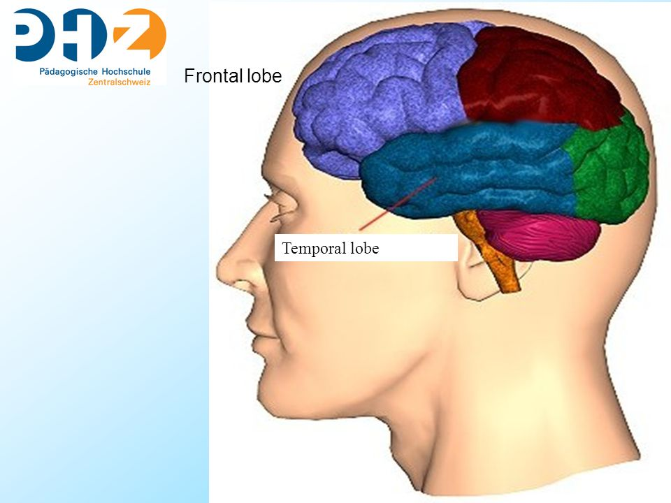 Temporal lobe Frontal lobe