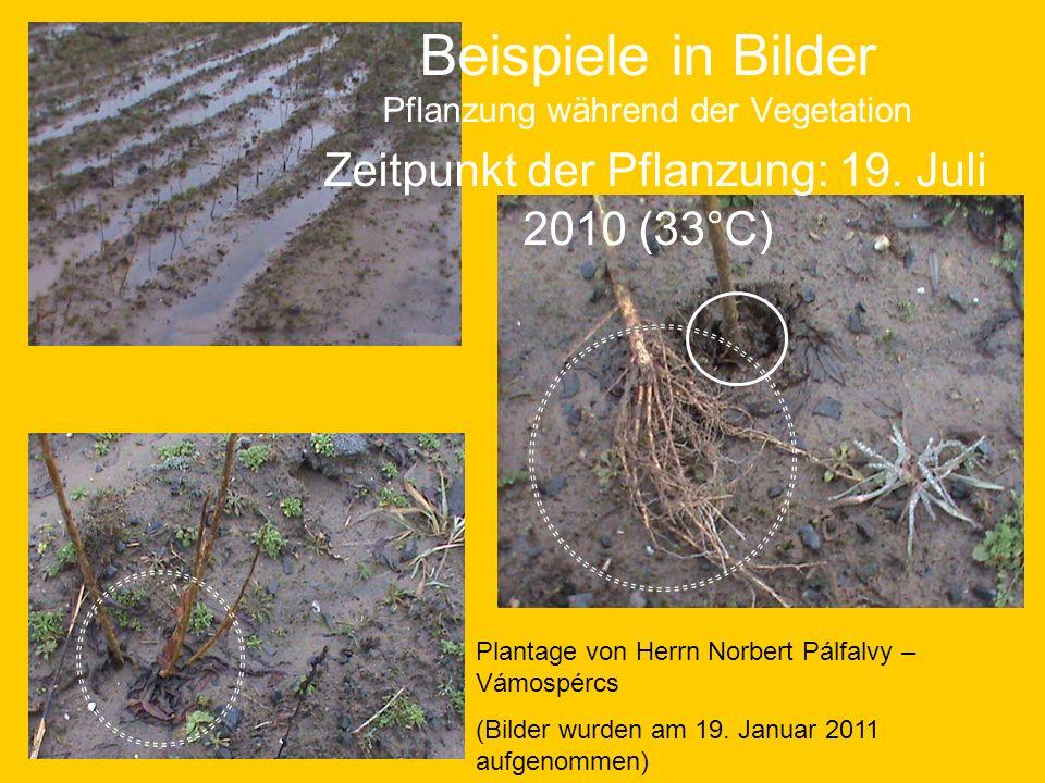 Beispiele in Bilder Pflanzung während der Vegetation Zeitpunkt der Pflanzung: 19. Juli 2010 (33°C)