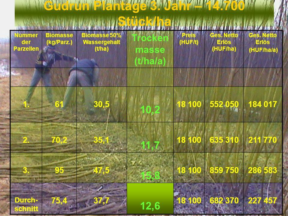 Gudrun Plantage 3. Jahr – 14.700 Stück/ha