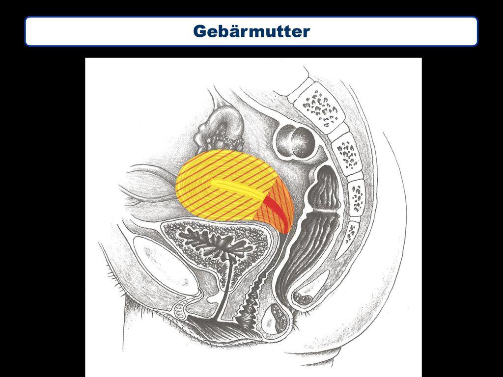 Ausgezeichnet Funktion Der Gebärmutter Ideen - Anatomie Von ...
