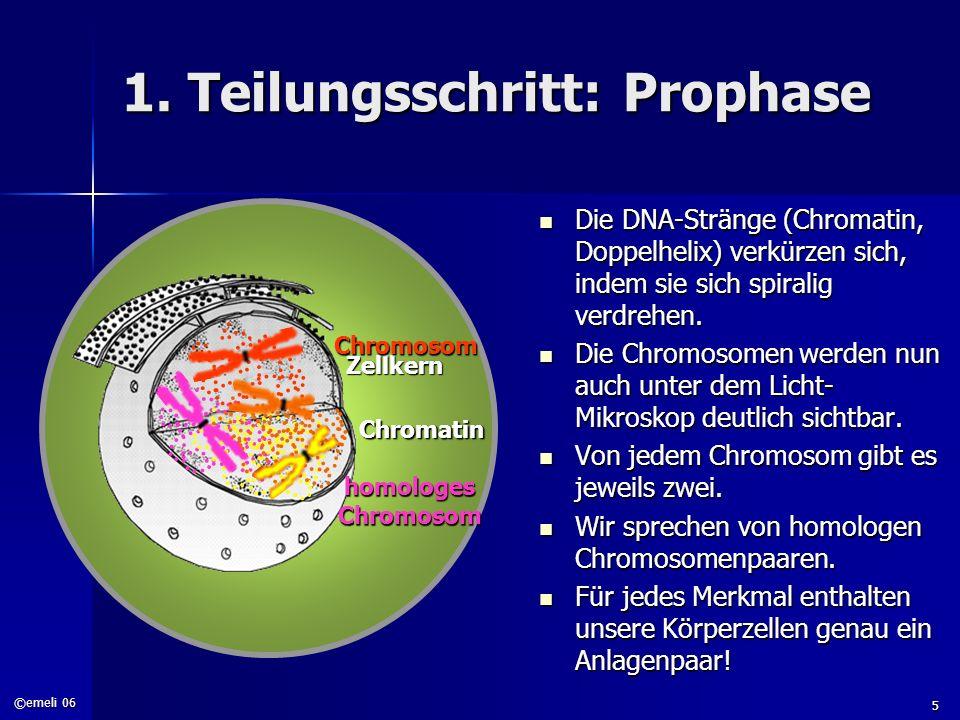 1. Teilungsschritt: Prophase