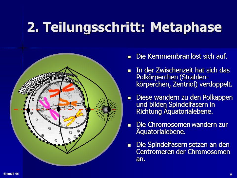 2. Teilungsschritt: Metaphase