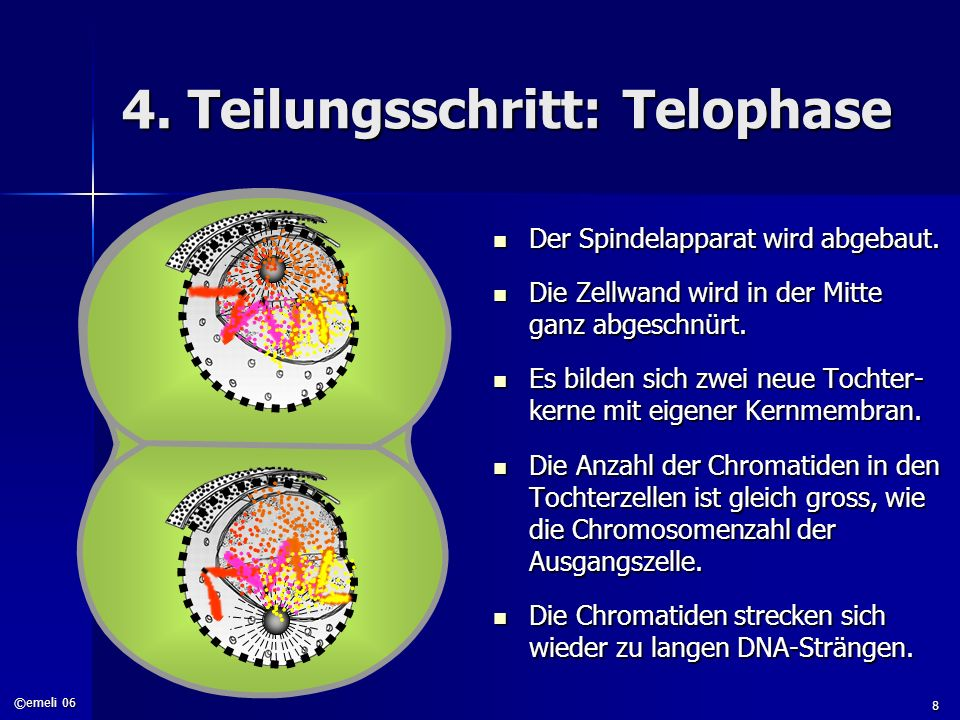 4. Teilungsschritt: Telophase