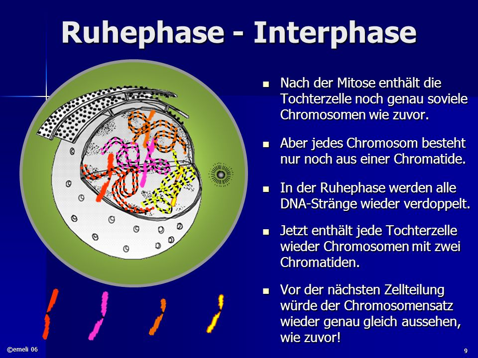 Ruhephase - Interphase