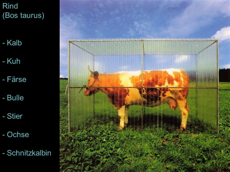 Rind (Bos taurus) - Kalb - Kuh - Färse - Bulle - Stier - Ochse