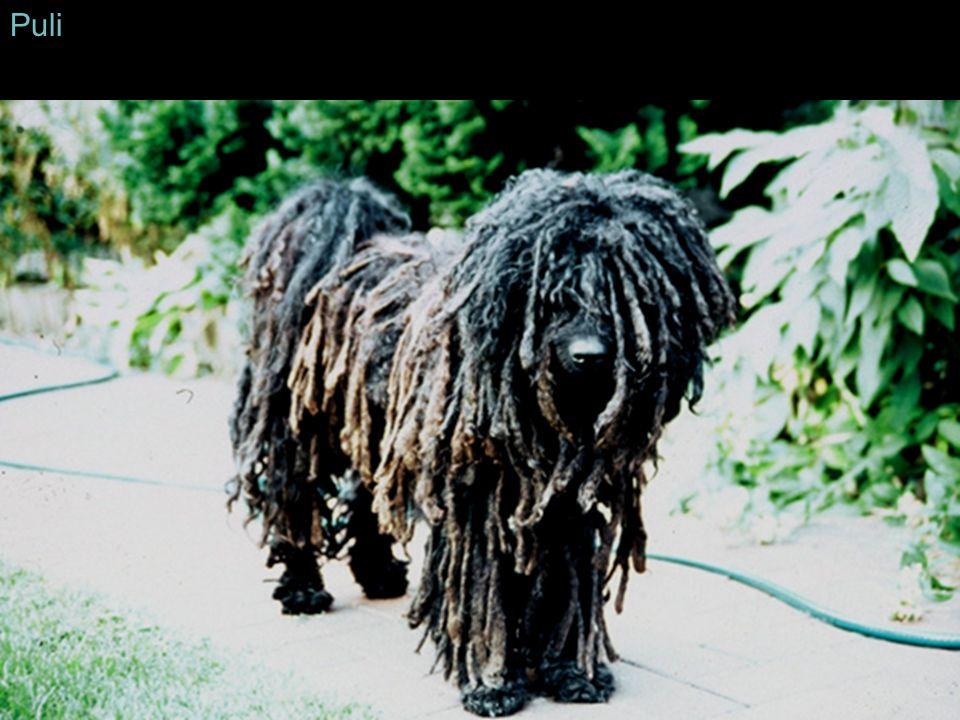 Puli Im Kontrast dazu bleibt ein kastrierter Hund ein Hund.