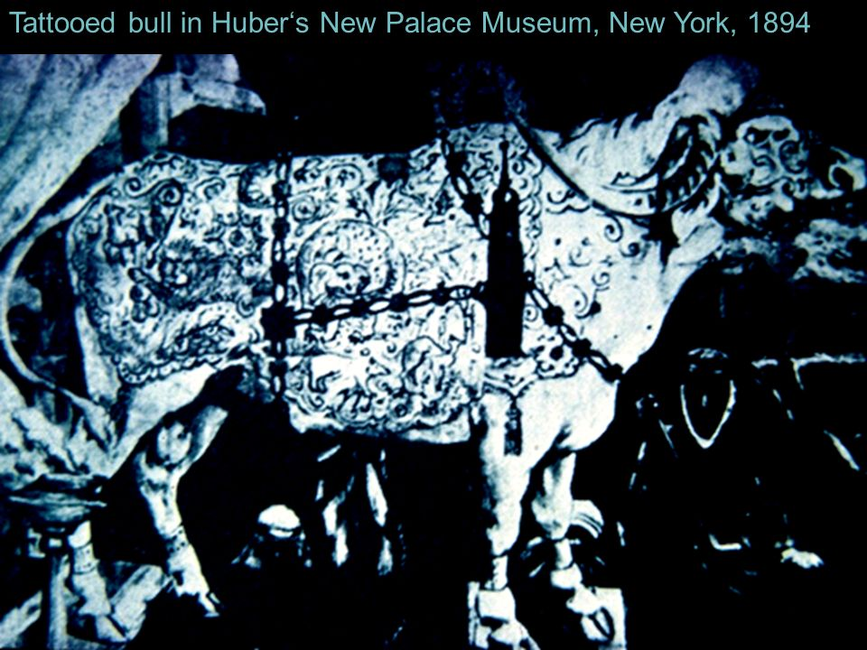 Tattooed bull in Huber's New Palace Museum, New York, 1894