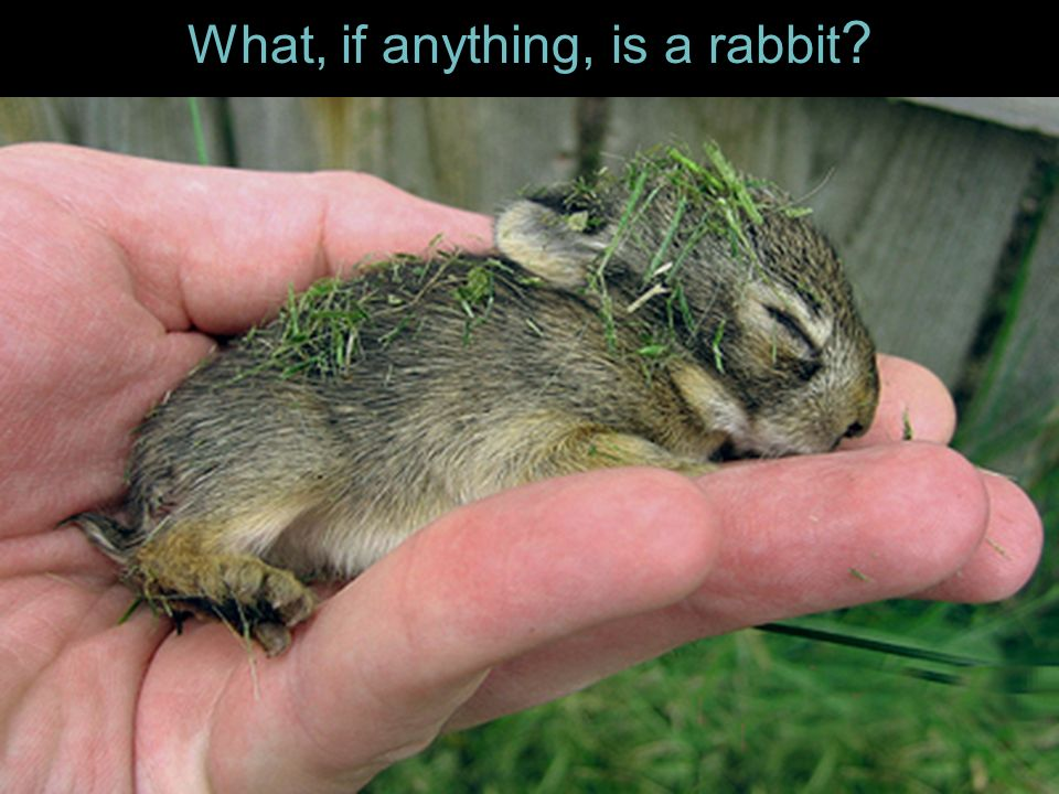 What, if anything, is a rabbit