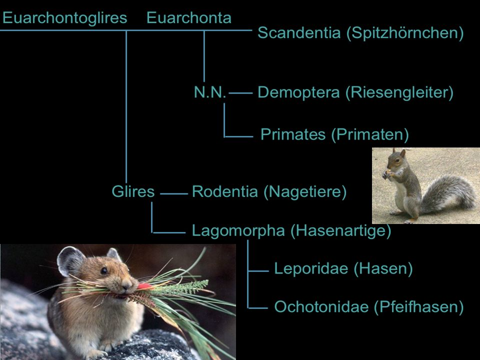 Zur einen eigenen Ordnung der Hasenartigen (Lagomorpha) gehören.