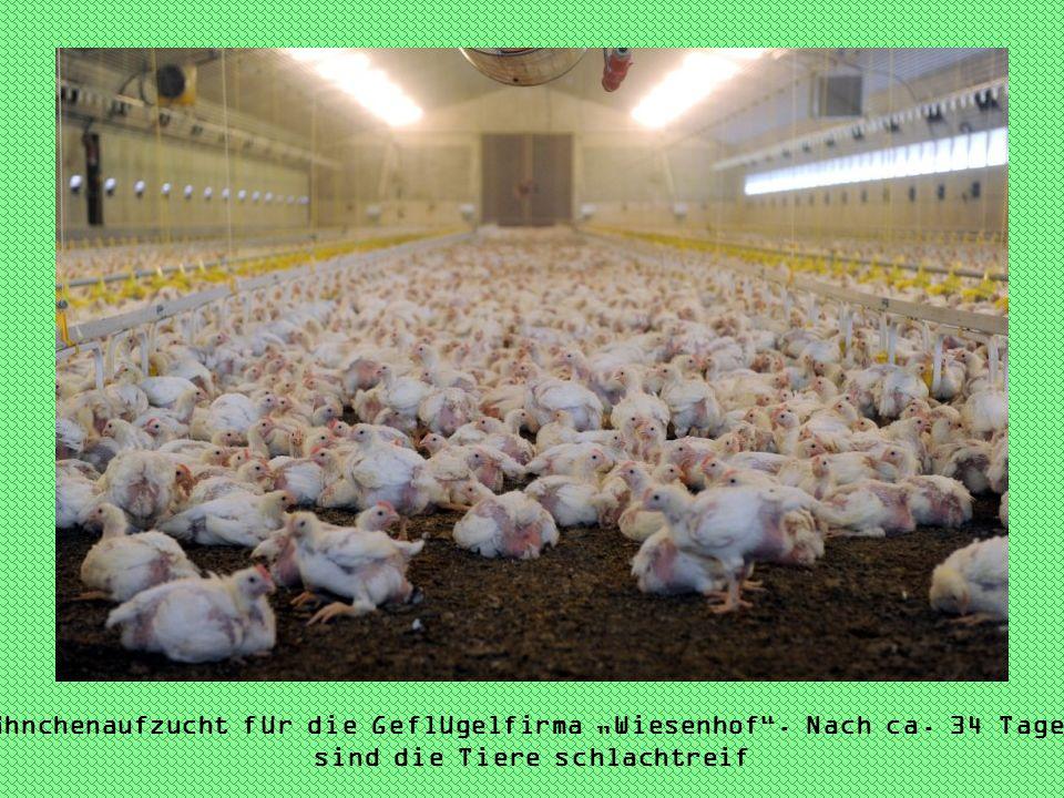"""Hähnchenaufzucht für die Geflügelfirma """"Wiesenhof . Nach ca"""