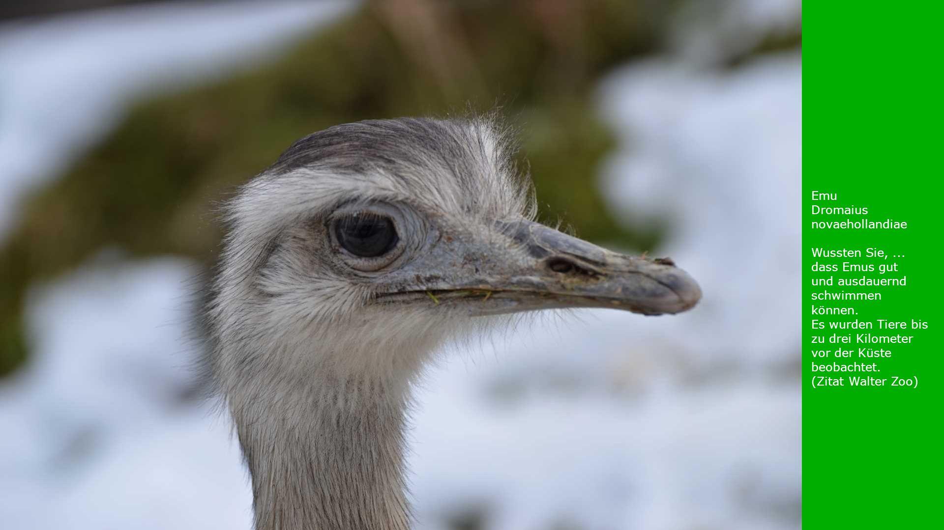 Emu Dromaius novaehollandiae. Wussten Sie, ...