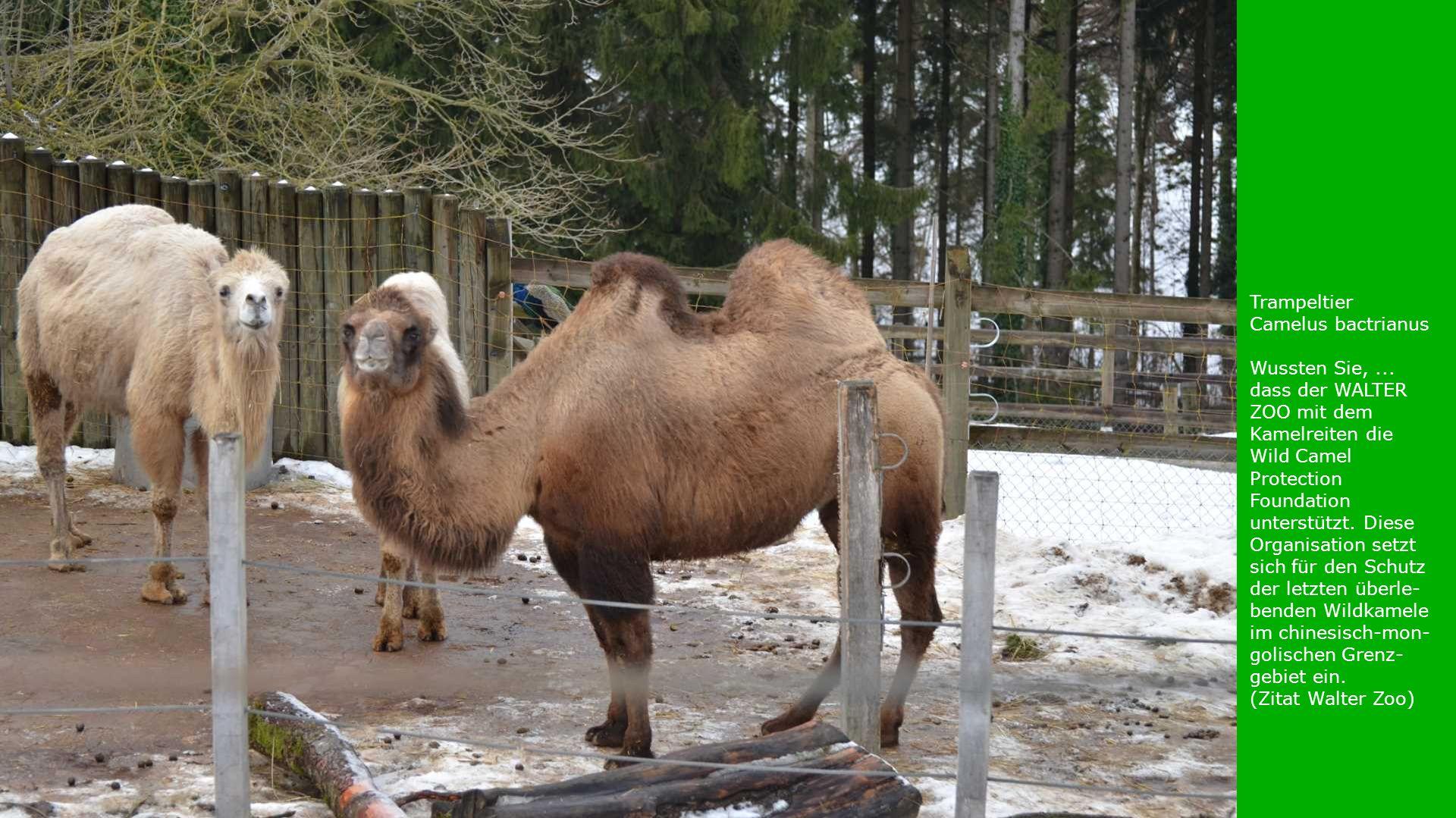 Trampeltier Camelus bactrianus. Wussten Sie, ...