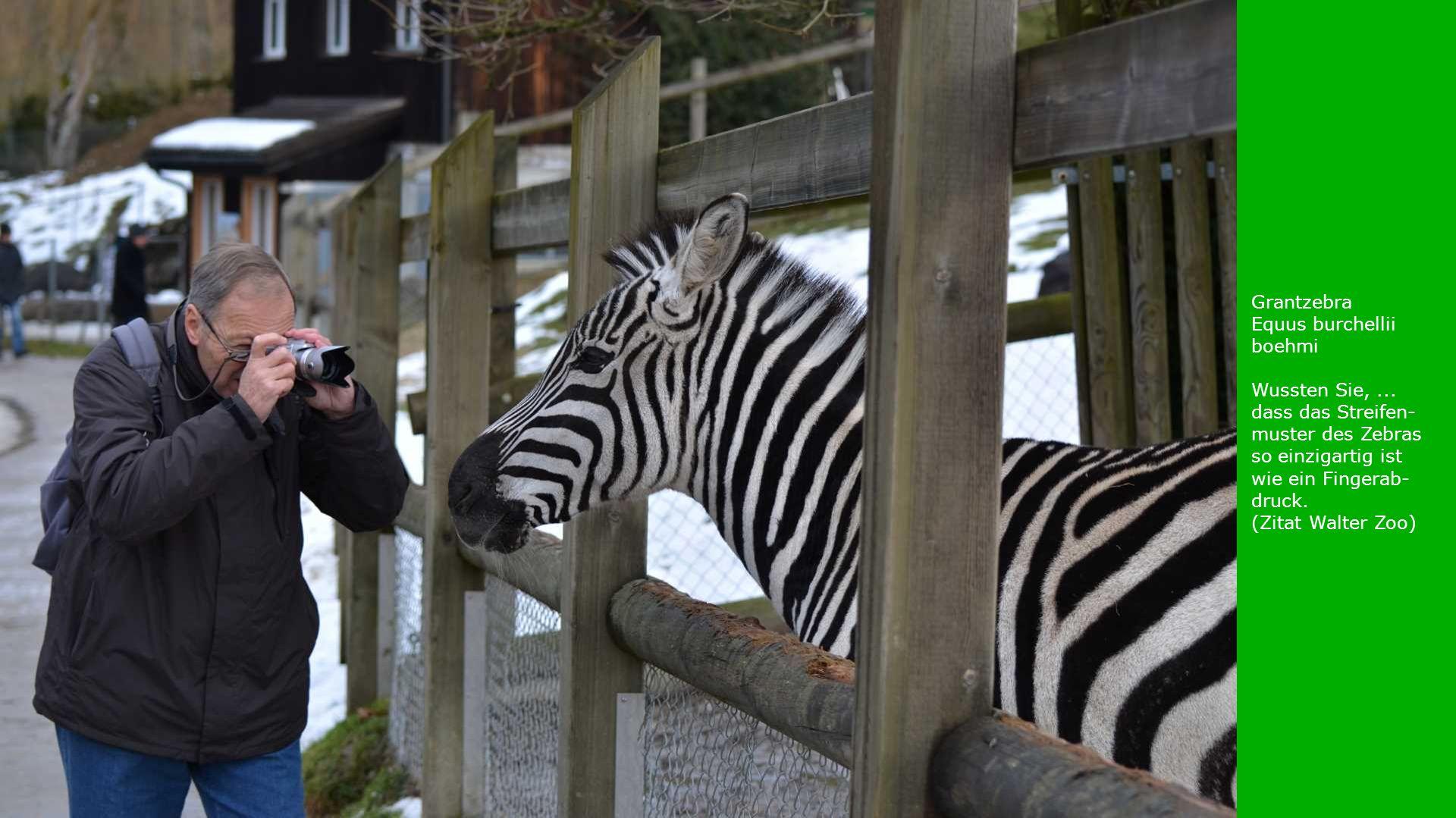 Grantzebra Equus burchellii boehmi. Wussten Sie, ... dass das Streifen-muster des Zebras so einzigartig ist wie ein Fingerab-druck.