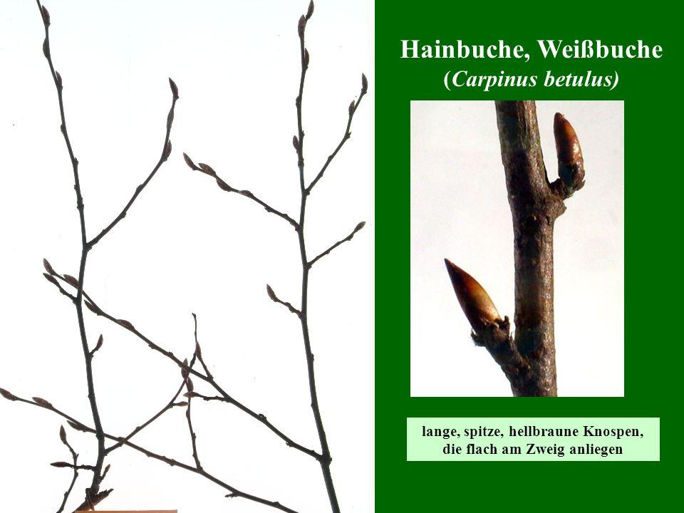 lange, spitze, hellbraune Knospen, die flach am Zweig anliegen