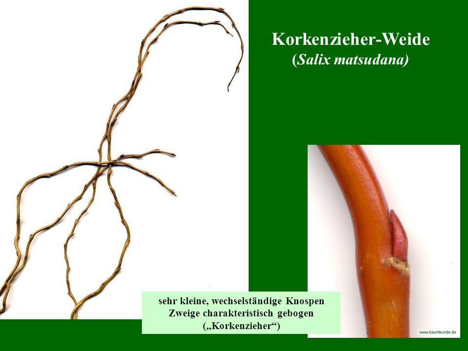 Korkenzieher-Weide (Salix matsudana)