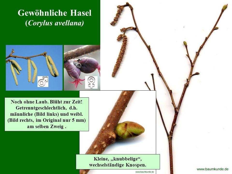 Gewöhnliche Hasel (Corylus avellana) Noch ohne Laub. Blüht zur Zeit!