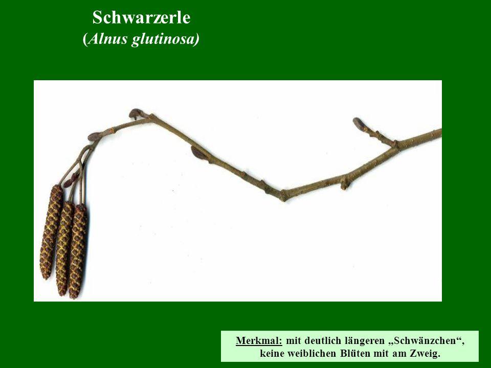 Schwarzerle (Alnus glutinosa)