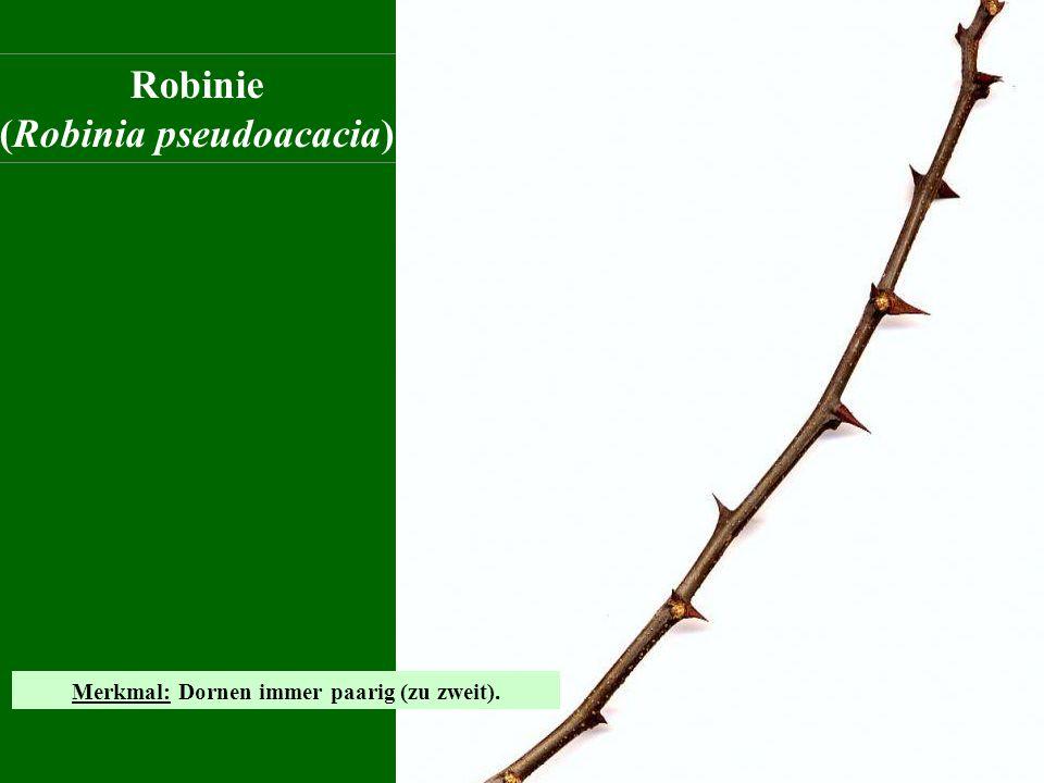(Robinia pseudoacacia) Merkmal: Dornen immer paarig (zu zweit).