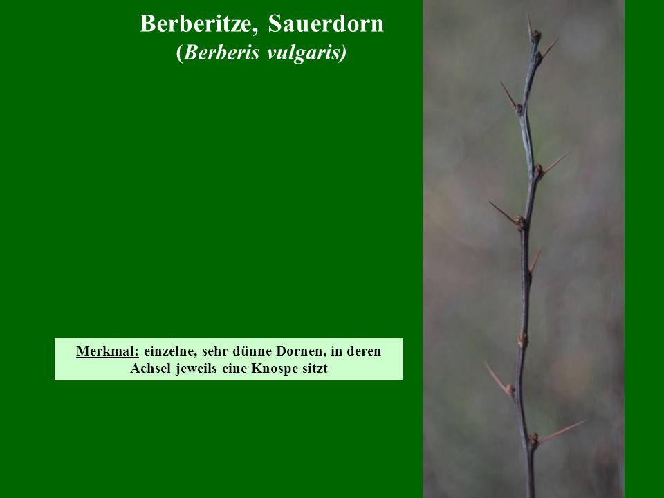 Berberitze, Sauerdorn (Berberis vulgaris)