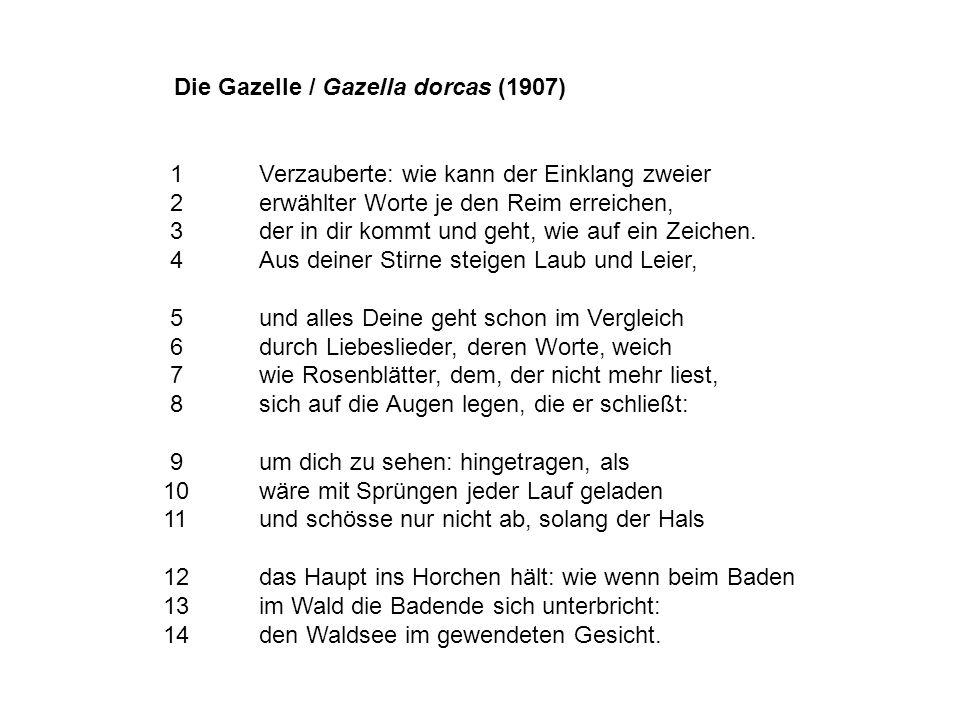 Die Gazelle / Gazella dorcas (1907)