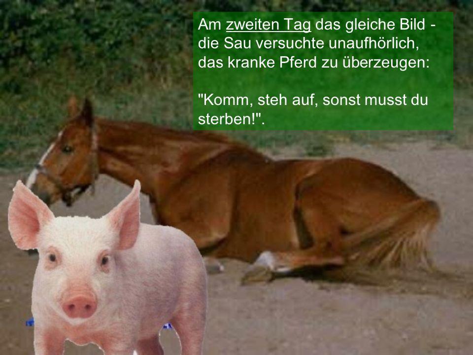Am zweiten Tag das gleiche Bild - die Sau versuchte unaufhörlich, das kranke Pferd zu überzeugen: