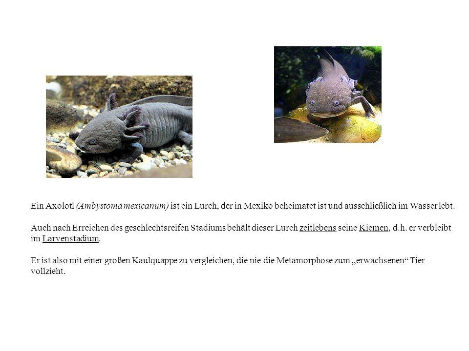 Ein Axolotl (Ambystoma mexicanum) ist ein Lurch, der in Mexiko beheimatet ist und ausschließlich im Wasser lebt.