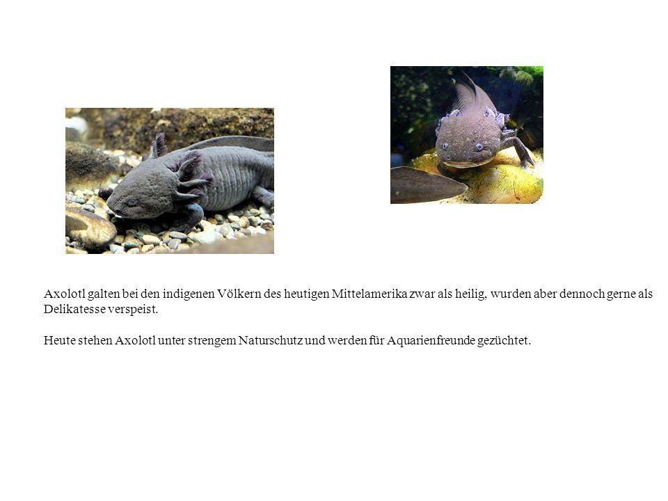 Axolotl galten bei den indigenen Völkern des heutigen Mittelamerika zwar als heilig, wurden aber dennoch gerne als Delikatesse verspeist.