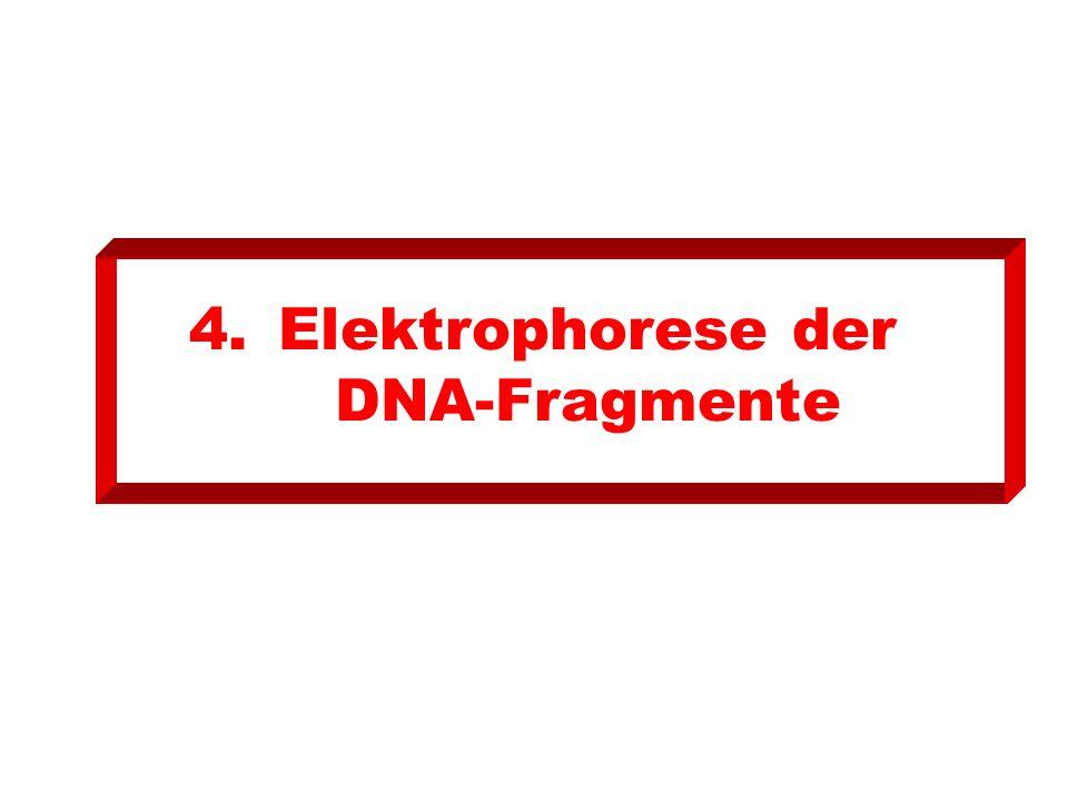 Elektrophorese der DNA-Fragmente