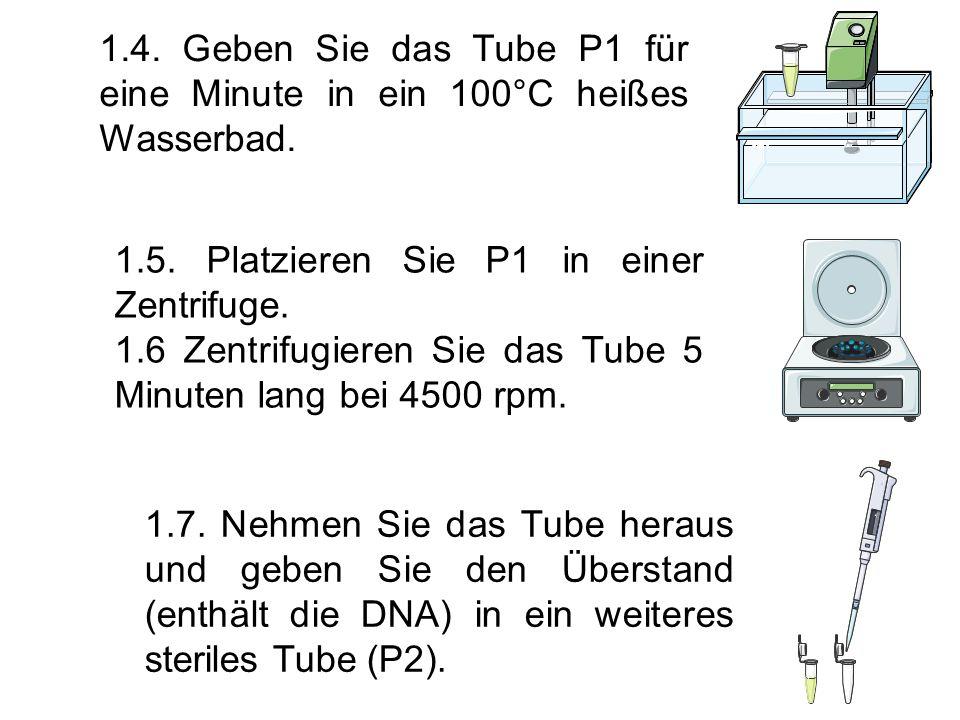 1.4. Geben Sie das Tube P1 für eine Minute in ein 100°C heißes Wasserbad.