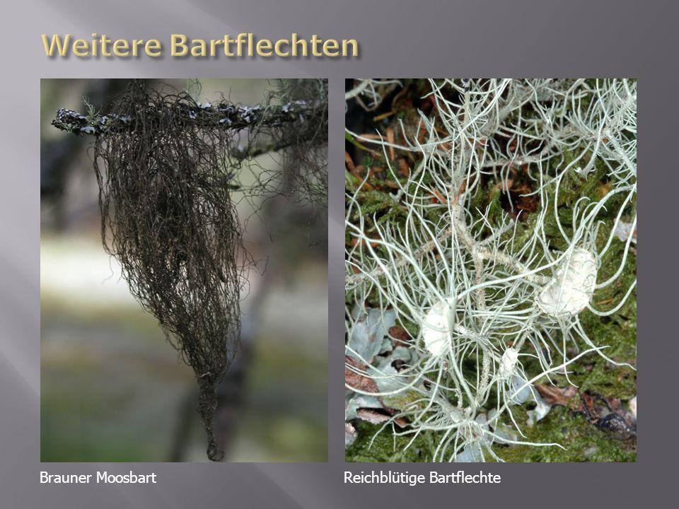 Weitere Bartflechten Brauner Moosbart Reichblütige Bartflechte