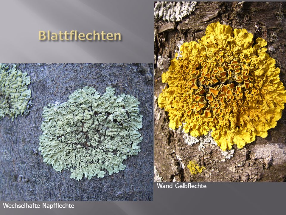 Blattflechten Wand-Gelbflechte Wechselhafte Napfflechte
