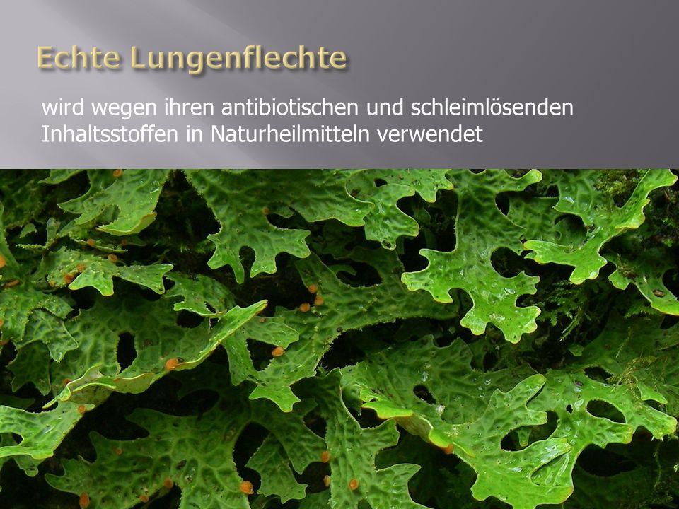 Echte Lungenflechte wird wegen ihren antibiotischen und schleimlösenden Inhaltsstoffen in Naturheilmitteln verwendet.