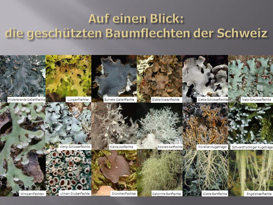 Auf einen Blick: die geschützten Baumflechten der Schweiz