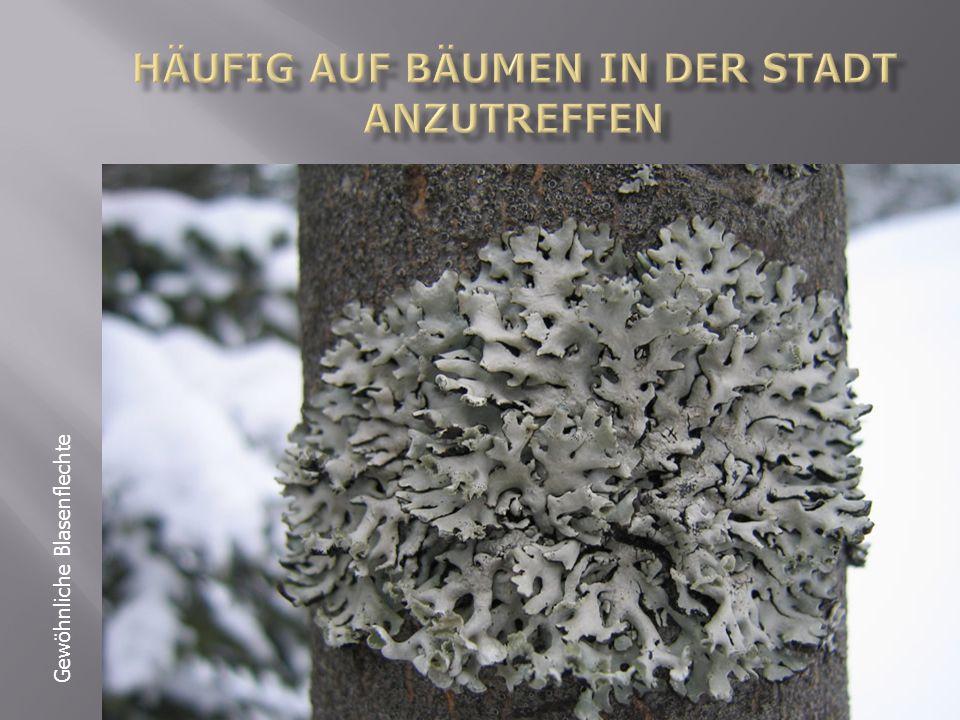 Häufig auf bäumen in der Stadt anzutreffen