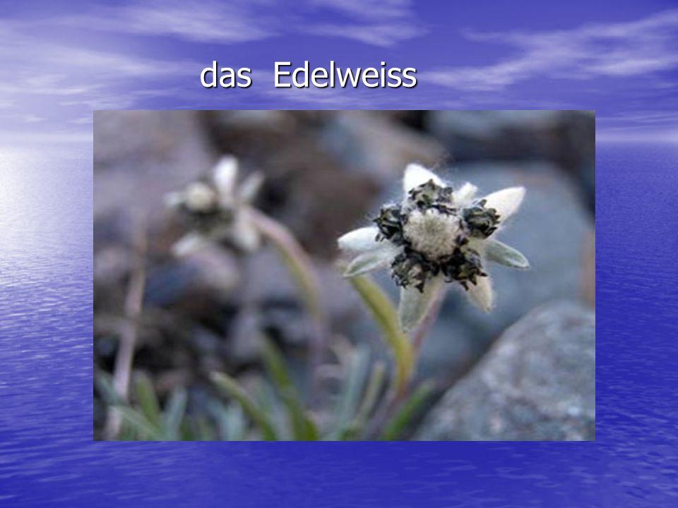 das Edelweiss