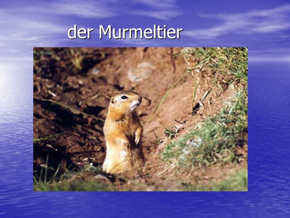 der Murmeltier