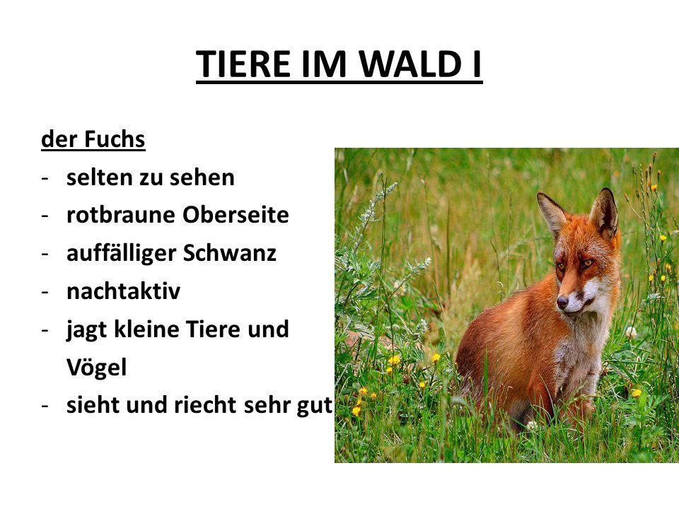 TIERE IM WALD I der Fuchs selten zu sehen rotbraune Oberseite