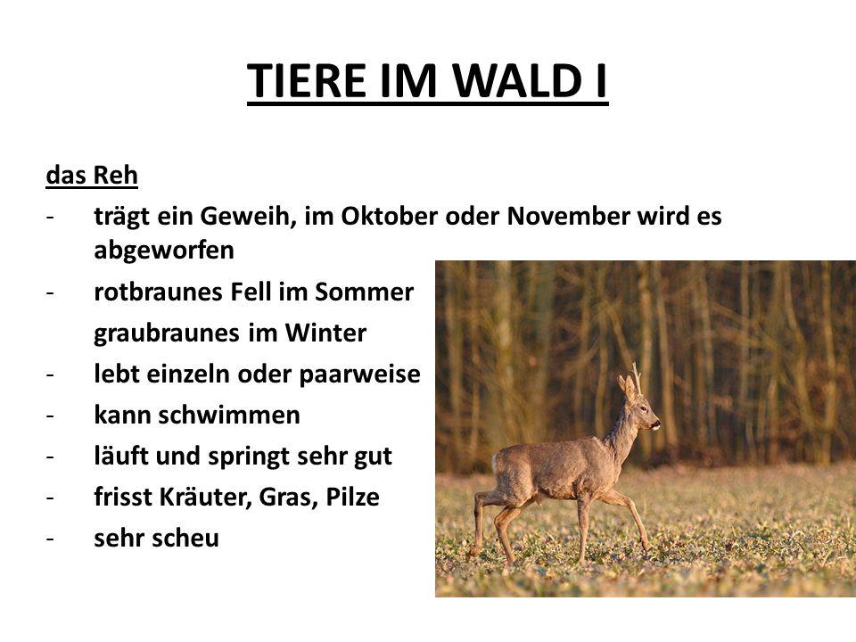 TIERE IM WALD I das Reh. trägt ein Geweih, im Oktober oder November wird es abgeworfen. rotbraunes Fell im Sommer.