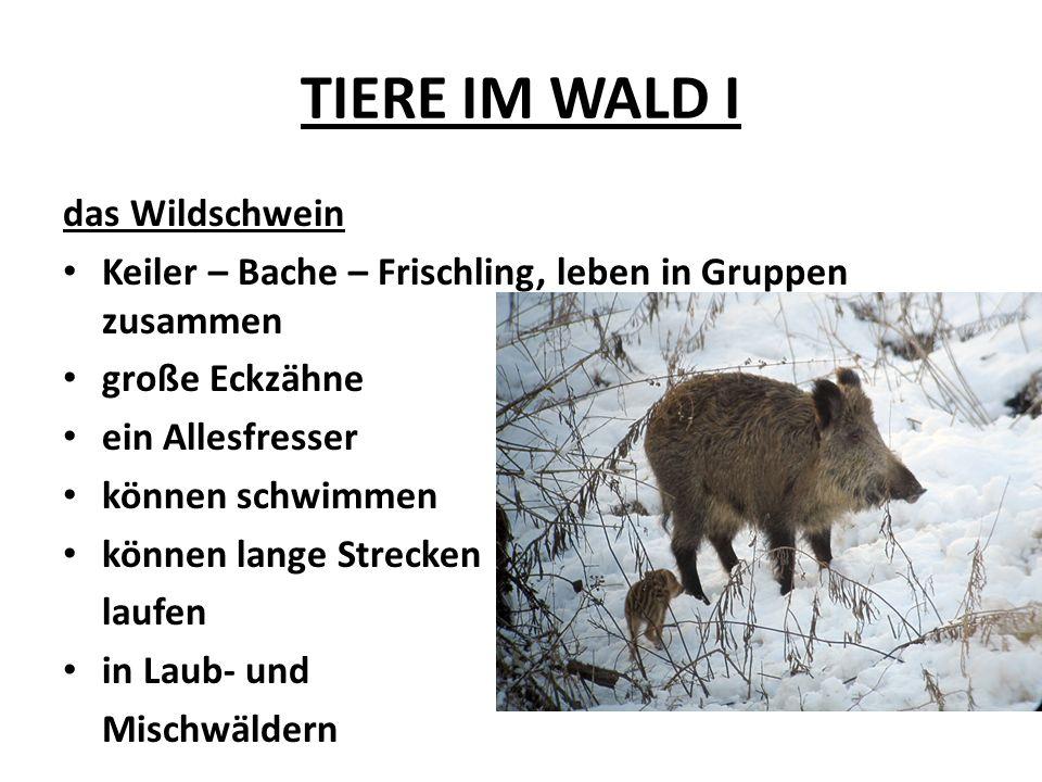 TIERE IM WALD I das Wildschwein