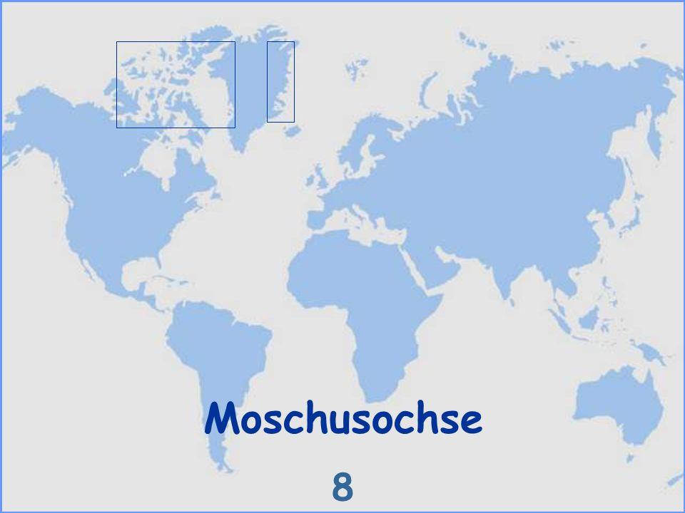 Moschusochse 8