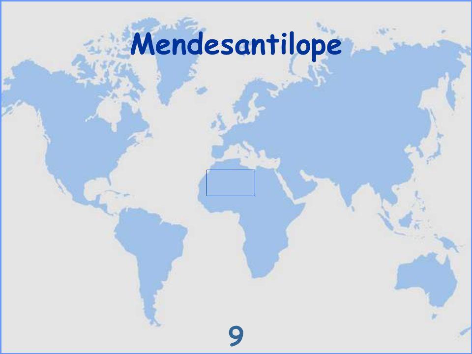 Mendesantilope 9