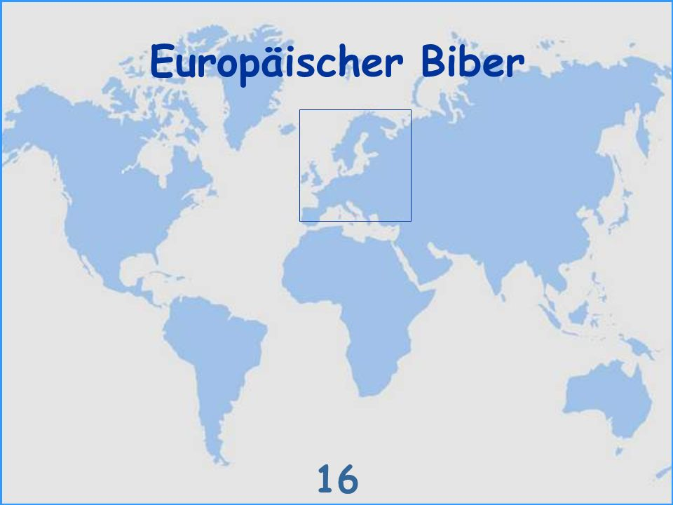 Europäischer Biber 16