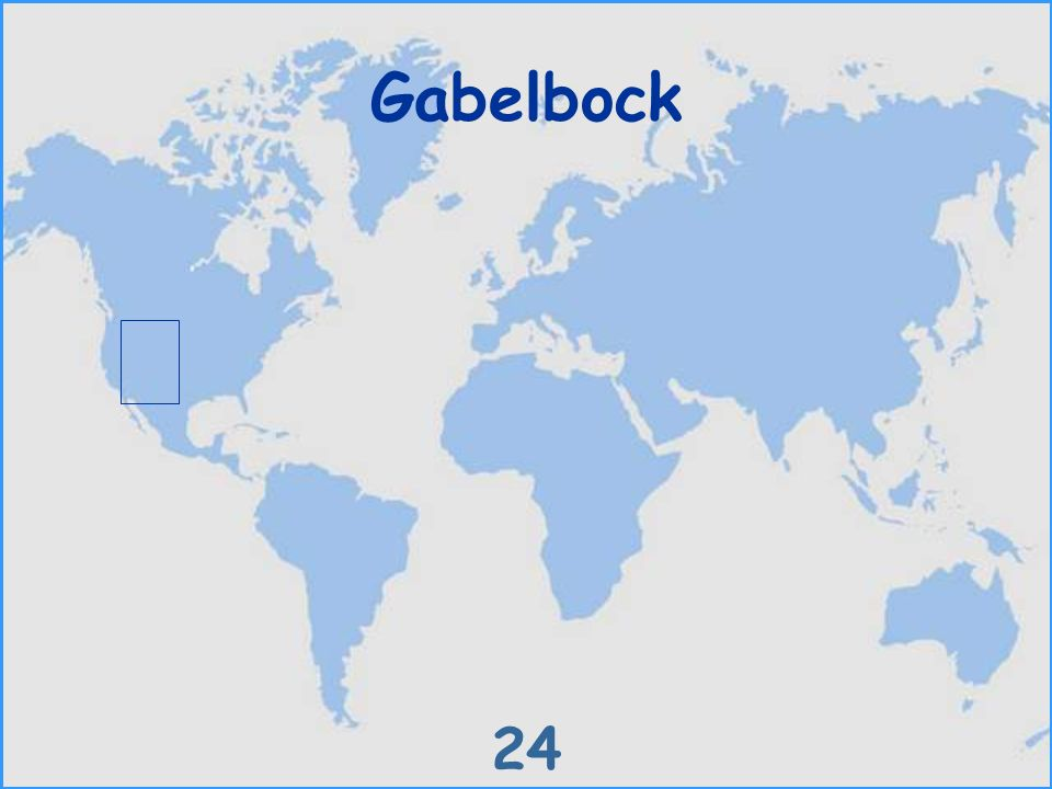 Gabelbock 24