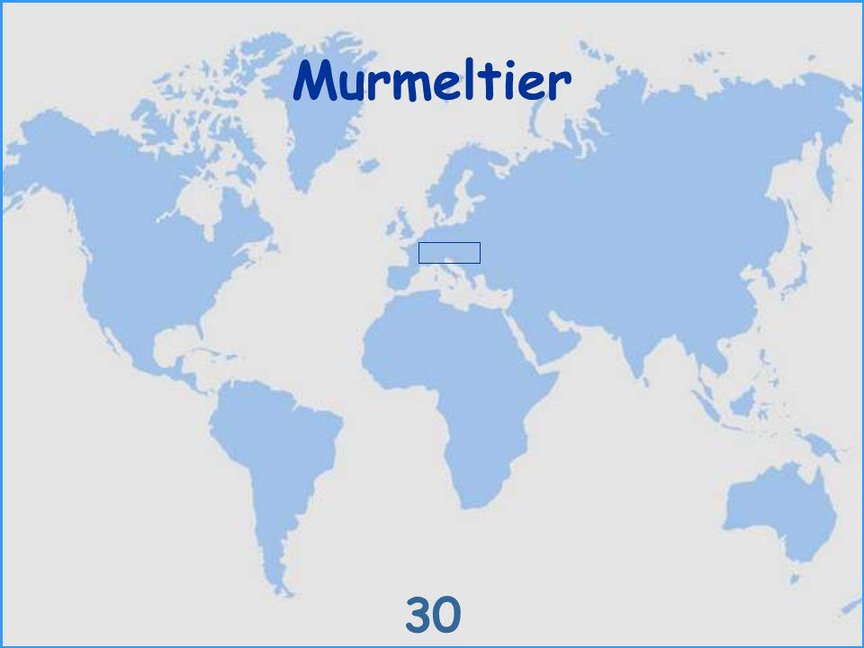 Murmeltier 30