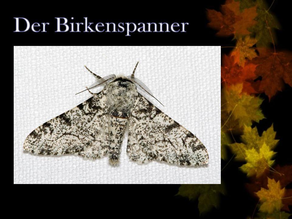 Der Birkenspanner